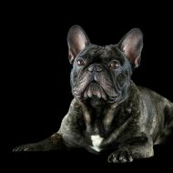 Franz.Bulldoggen